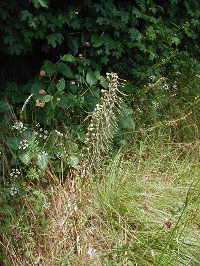 himantoglossum hircinum Bouc1
