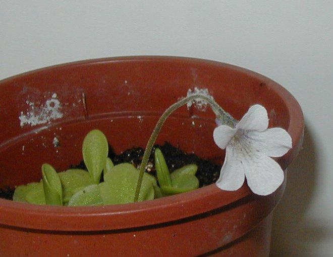 ping en fleur chez moi en ce moment Corsicapal