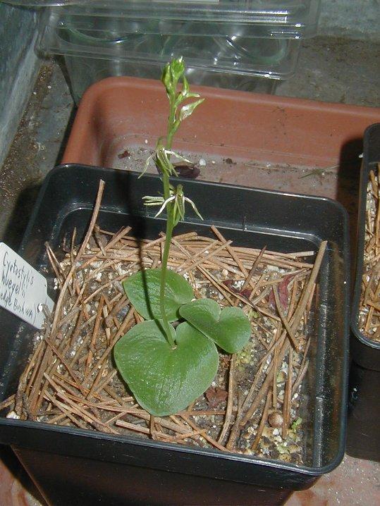 orchidee terrestre australienne Cyrtostylis