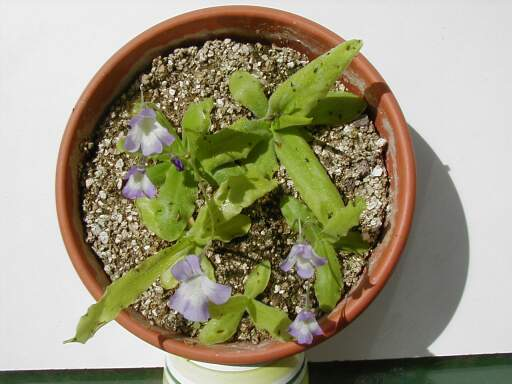 longifolia.JPG